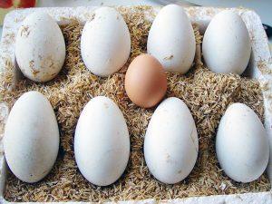 Khi mang thai bà bầu có nên ăn trứng ngỗng hay không?